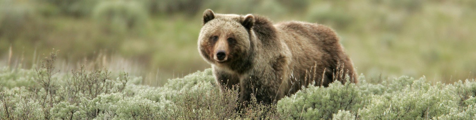 Grizzly bear walking in tall grasses