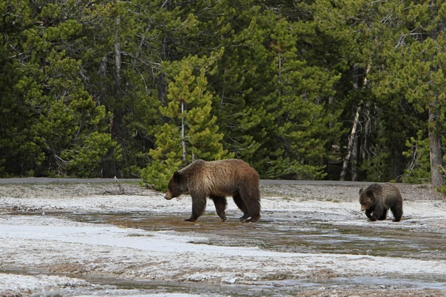 Grizzly bear and cub walking around in shallow water