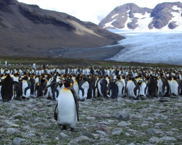 Large group of king penguins with mountains in background