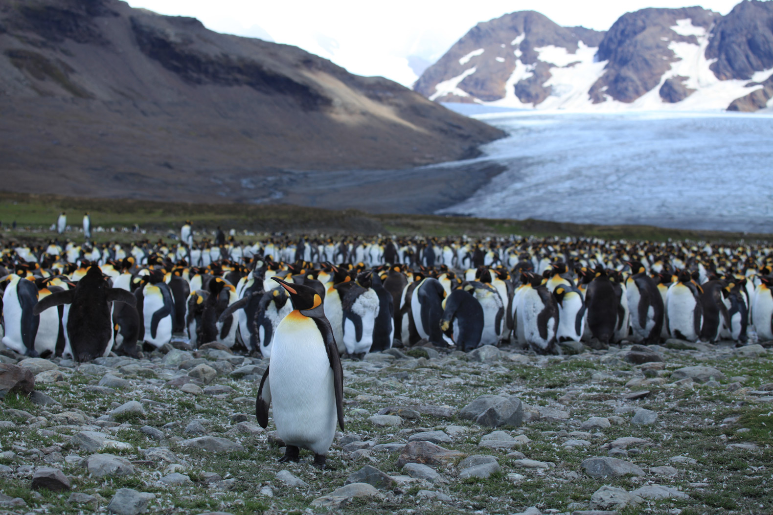 About 90% of world's largest king penguin colony has mysteriously disappeared