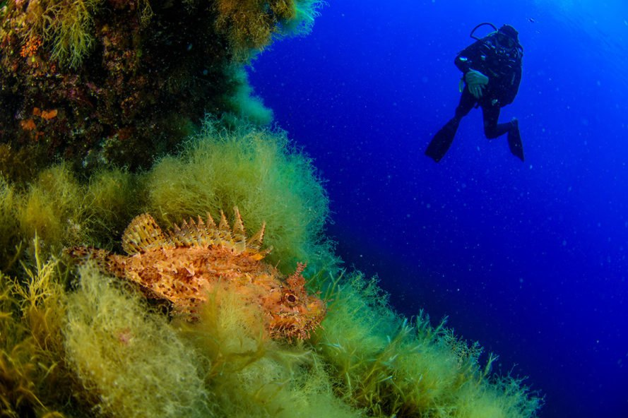 Diver swimming near scorpionfish in coral forest