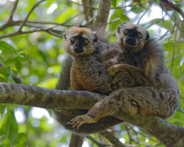 two lemurs sitting on a tree branch