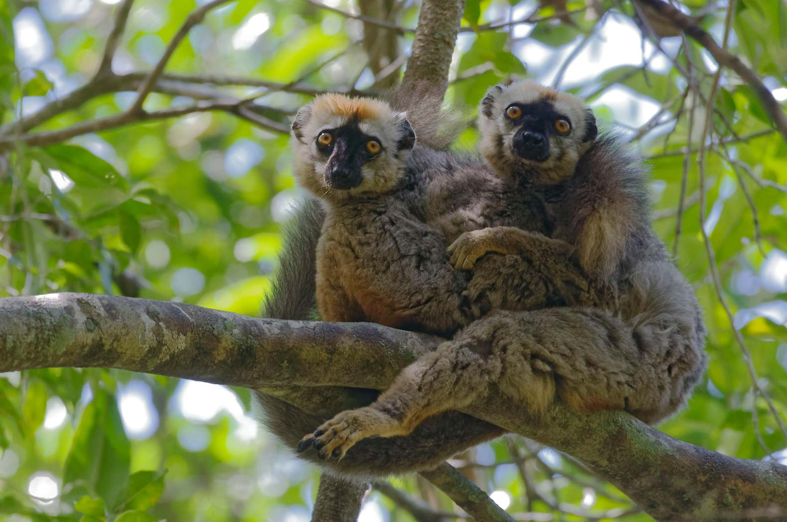 Lemurs are now the most endangered species of primate on the planet