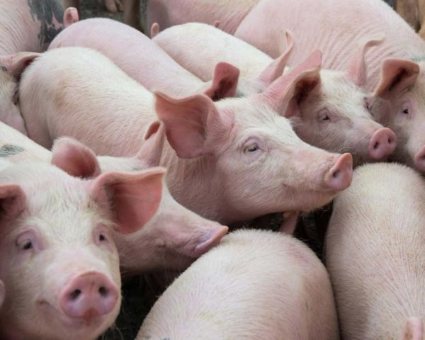 a crowd of pink pigs in a line