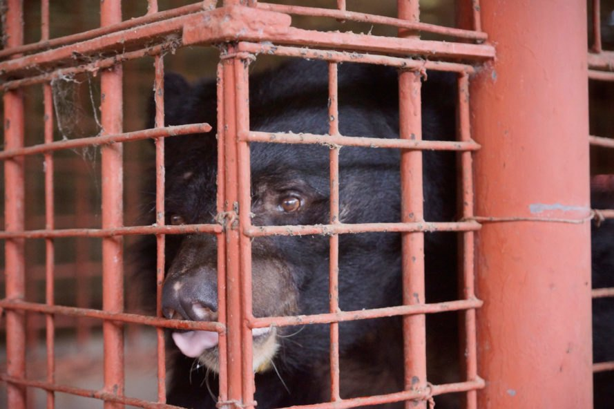 moon bear in a red cage
