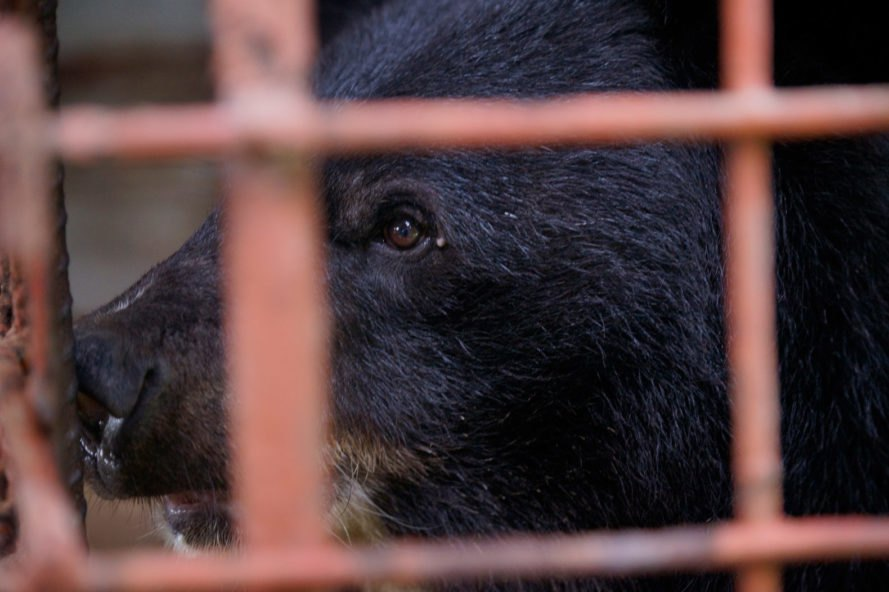 sad moon bear in a red cage