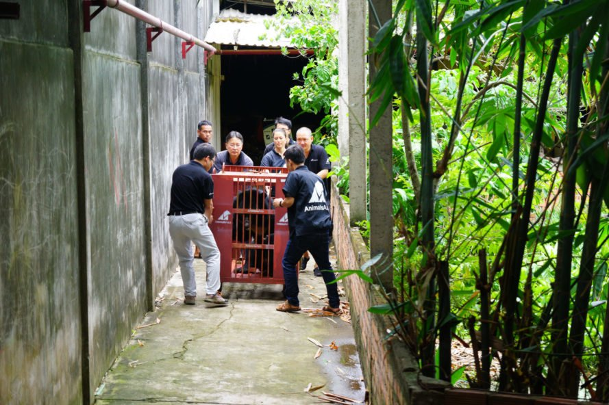 team of rescuers carrying out a caged moon bear