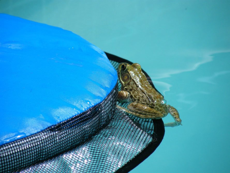 Frog climbing on a mesh floating device in a pool