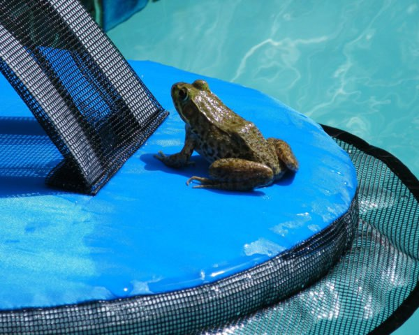 Frog sitting on floating device at the edge of a pool