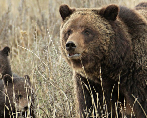 Grizzly bear sow and two cubs in tall grasses