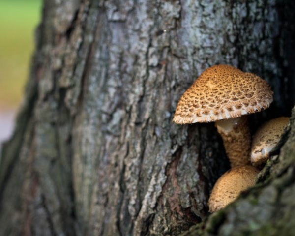 brown mushrooms growing on a tree trunk