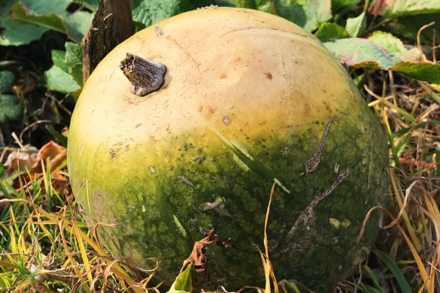 green calabaza squash on the ground