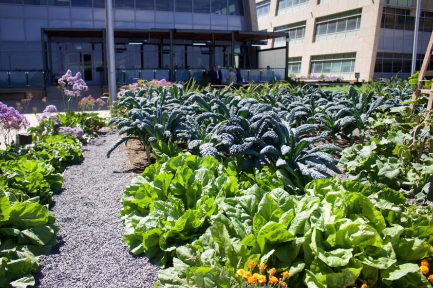 gardens growing vegetables by office buildings