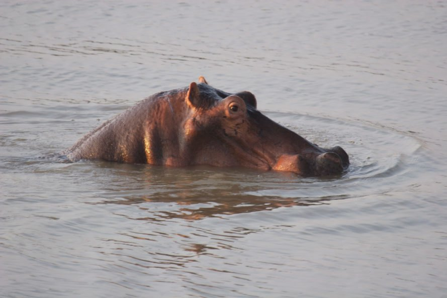 Zambia plans to cull 2,000 hippos over the next 5 years