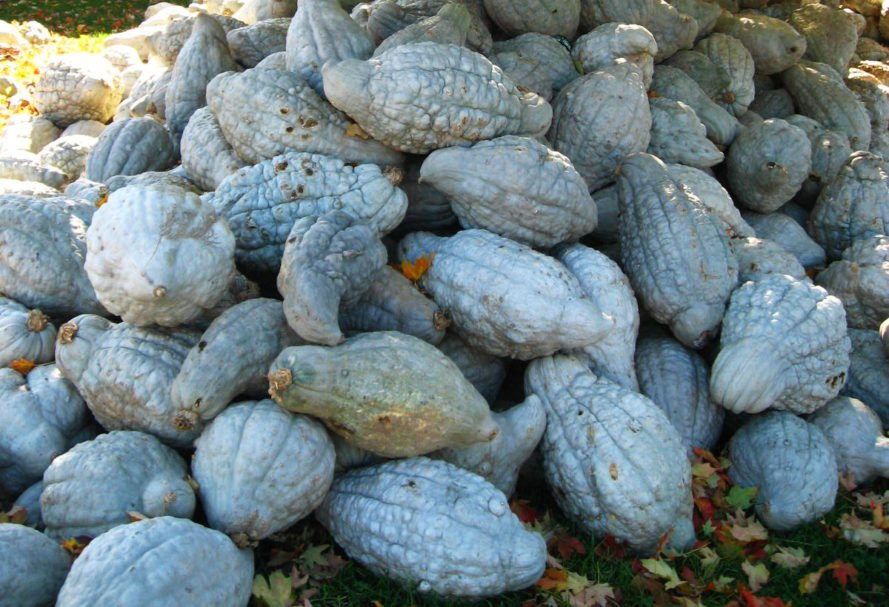 huge pile of blue hubbard squash under a tree