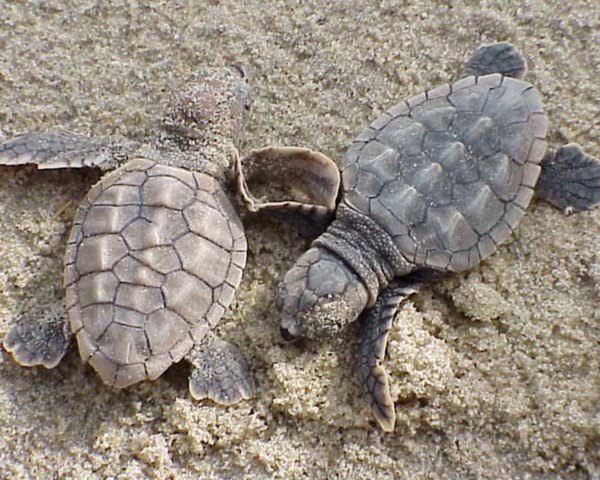 two baby loggerhead sea turtles on the sand