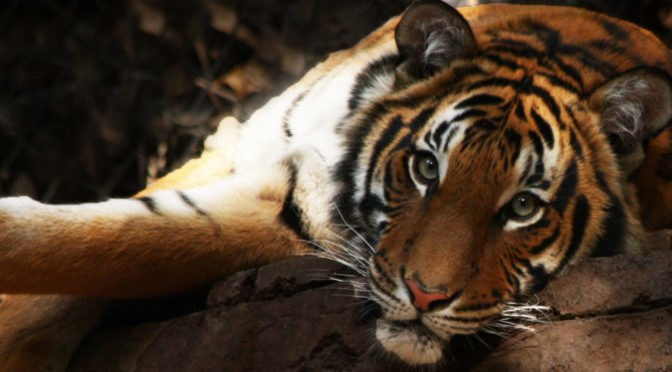 Endangered Malayan tigers threatened by the demand for durian on amur tiger map, sumatran tiger map, dhole map, african tiger map, indochinese tiger map, chinese tiger map, caspian tiger map, tiger habitat map, golden tiger map, south china tiger map, malayn tiger map, asiatic cheetah map,