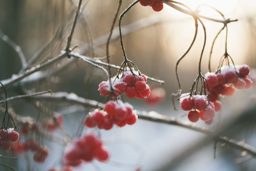 red berries growing on a tree covered in snow
