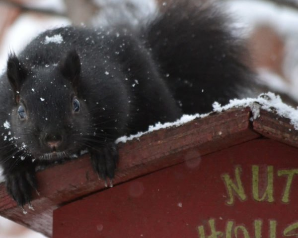 black squirrel on a red squirrel house