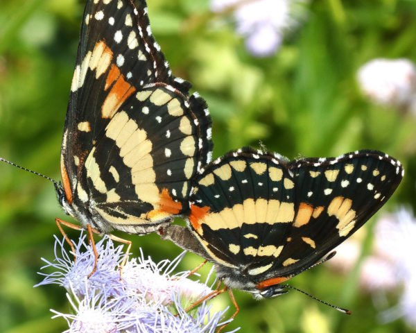 two orange, pale yellow and black butterflies on a light purple flower