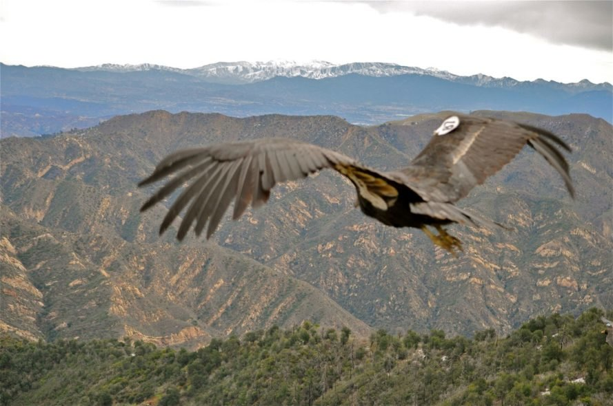 large bird in flight with mountains in background