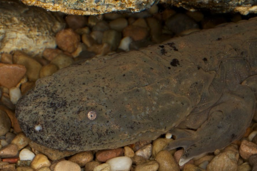 dark brown Hellbender salamander on the bottom of a river