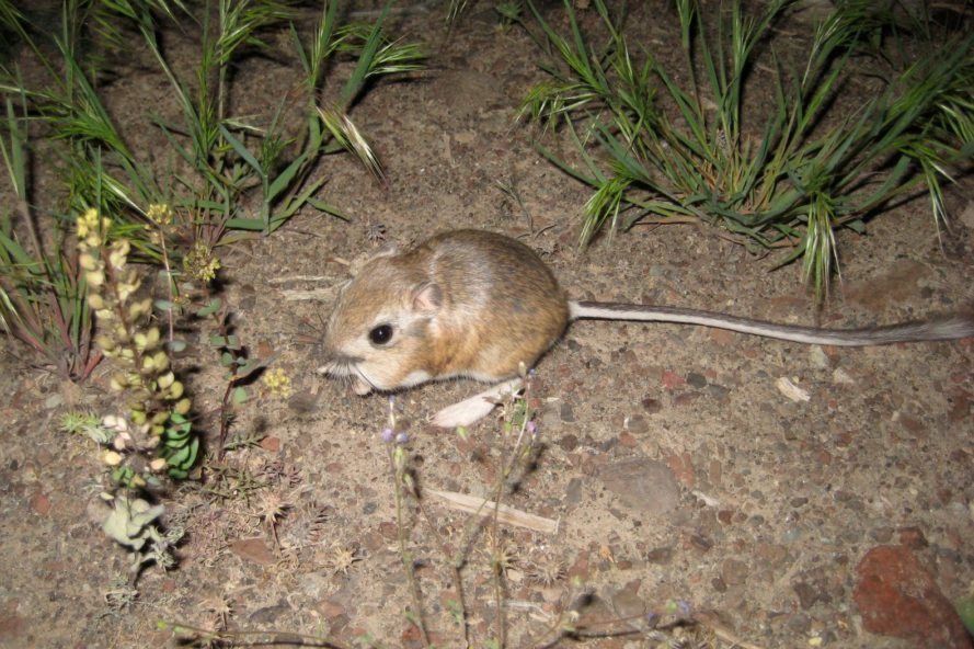 Kangaroo rat scurrying in the desert at night