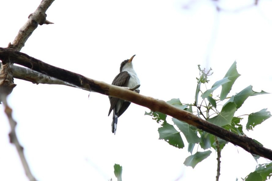 Western yellow-billed cuckoo on a tree branch