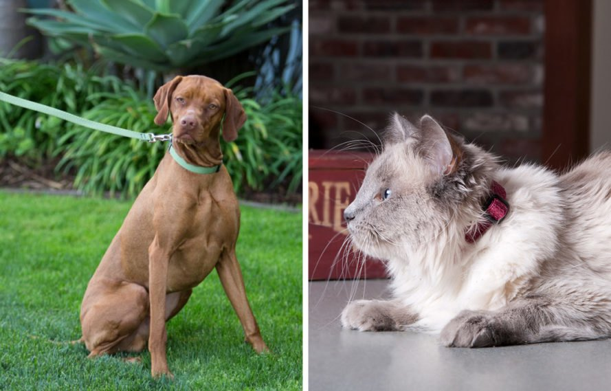 On the left, brown dog with green collar and green leash. On the right, cream and gray cat with red collar.