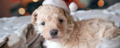 small brown puppy in a Santa hat