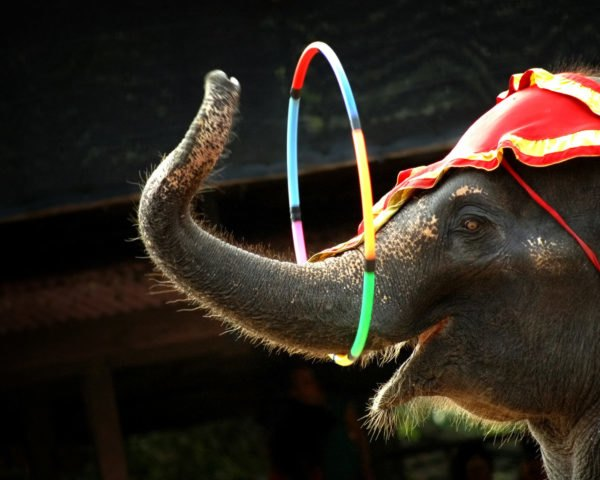 circus elephant with hoop around its trunk