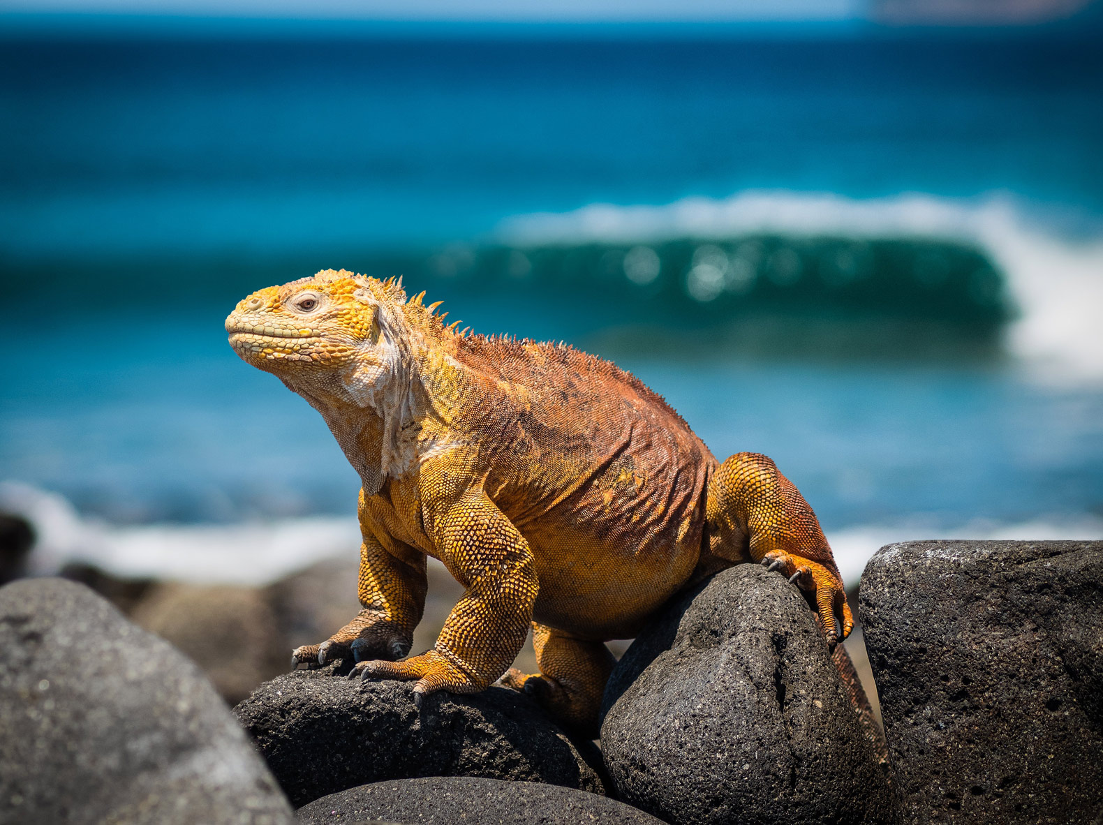Iguanas reintroduced to island after 200 years