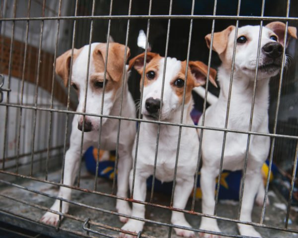 three puppies inside a cage for sale