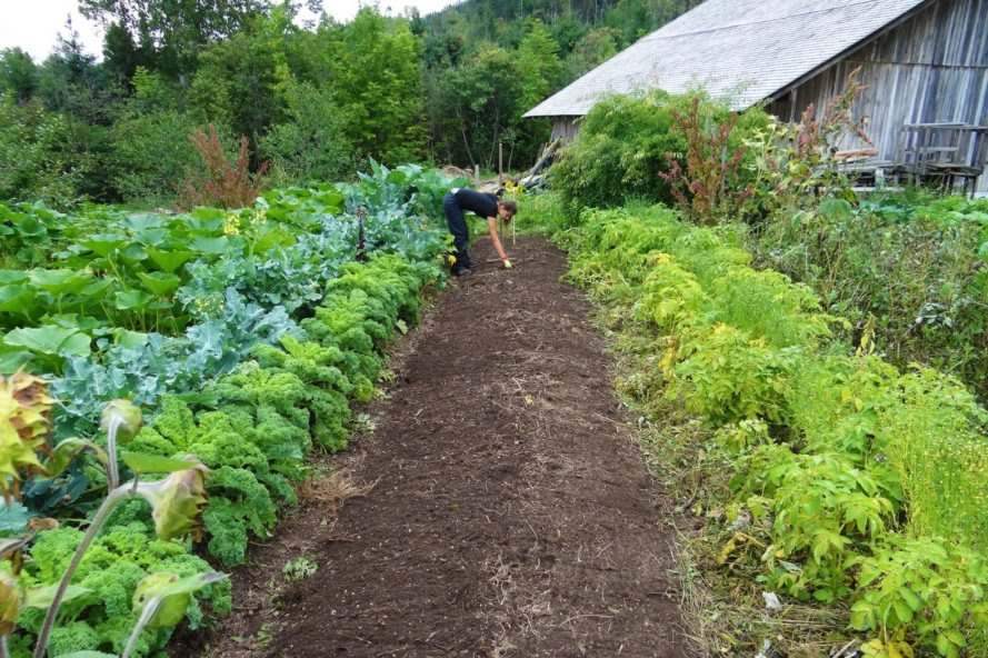 person tending to vegetables in a garden