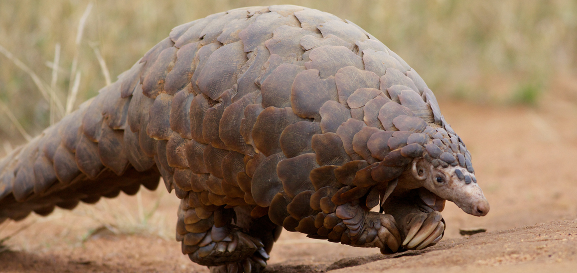 Zimbabwe hopes to bring attention to trafficking endangered species with the Pangolin Project