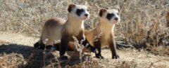 two black-footed ferrets in prairie
