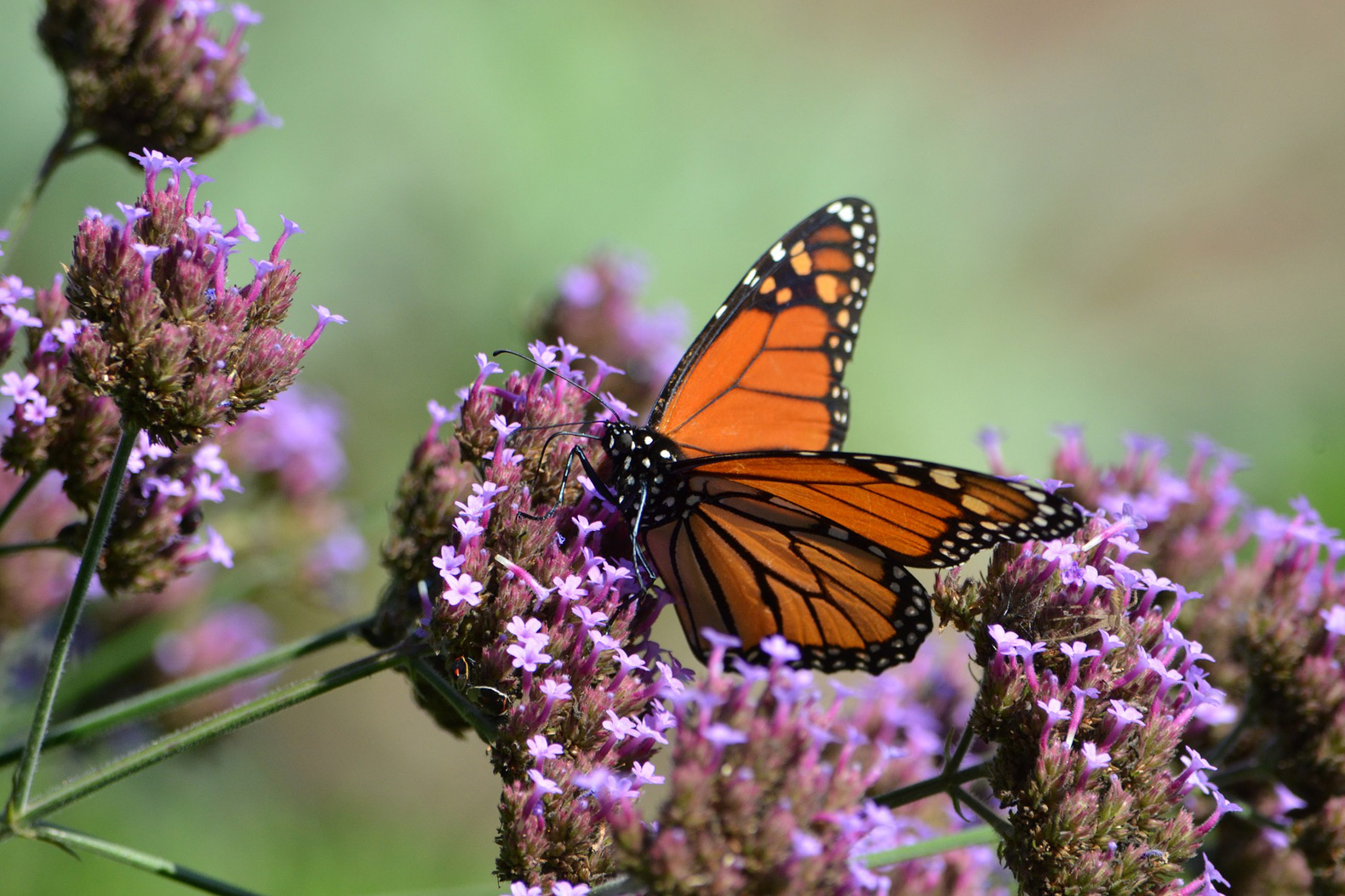 Monarch butterfly conservation groups fight to conserve the species