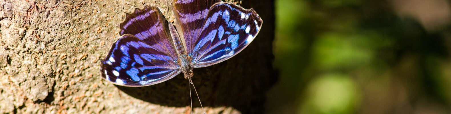 Mexican bluewing butterfly on a tree