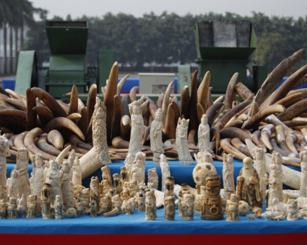confiscated ivory figurines and tusks
