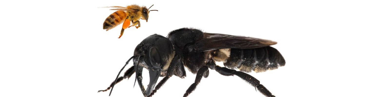 Giant bee compared to a honey bee