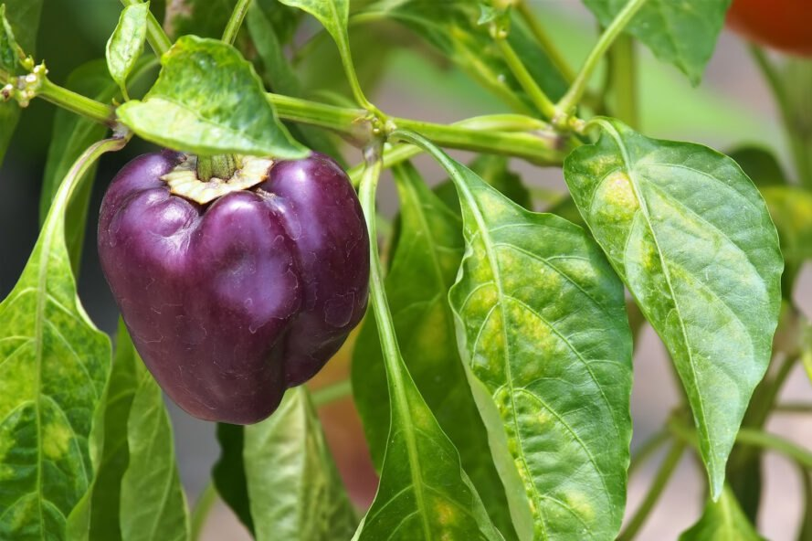 purple pepper growing on a plant