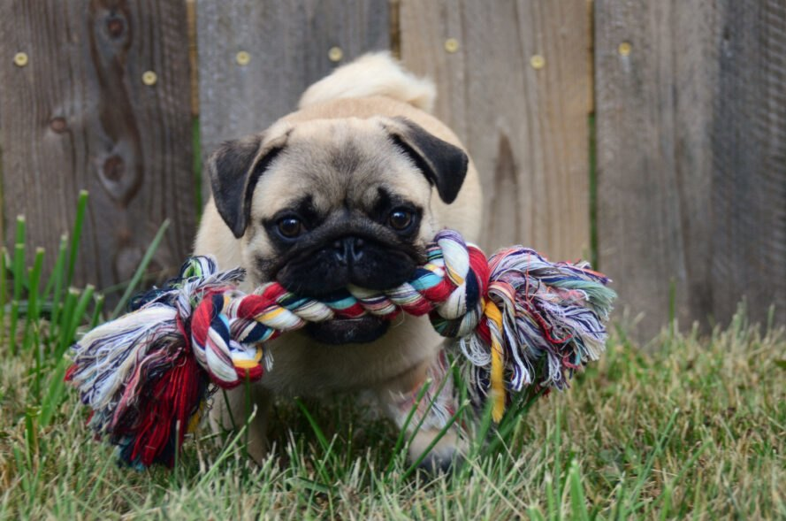 pug holding rope toy in mouth