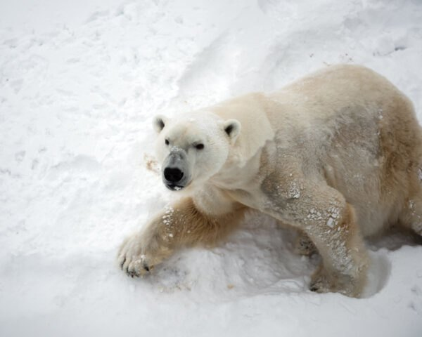 defensive polar bear on snowy hill