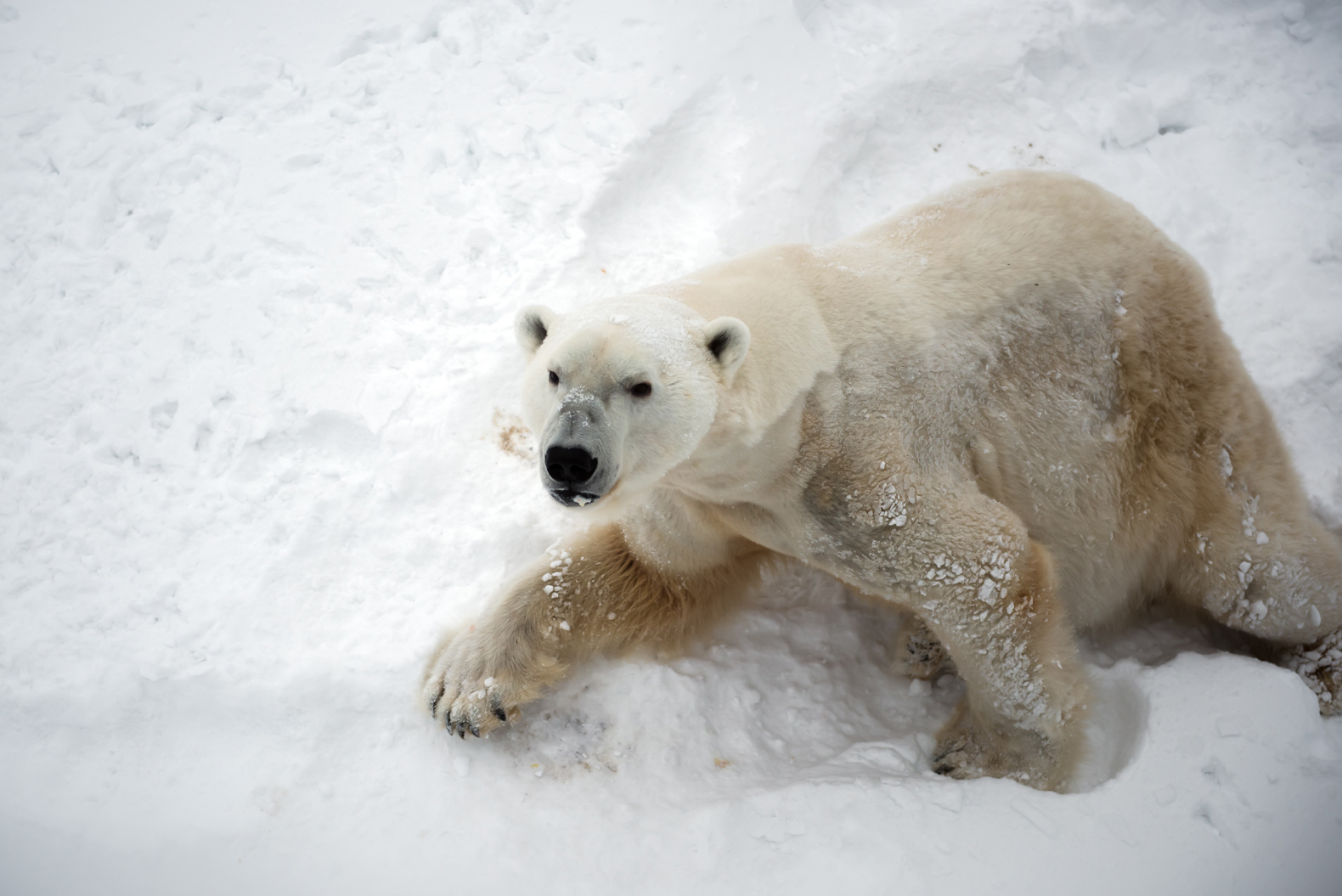 Polar bears invade small island in northern Russia, causing an emergency warning