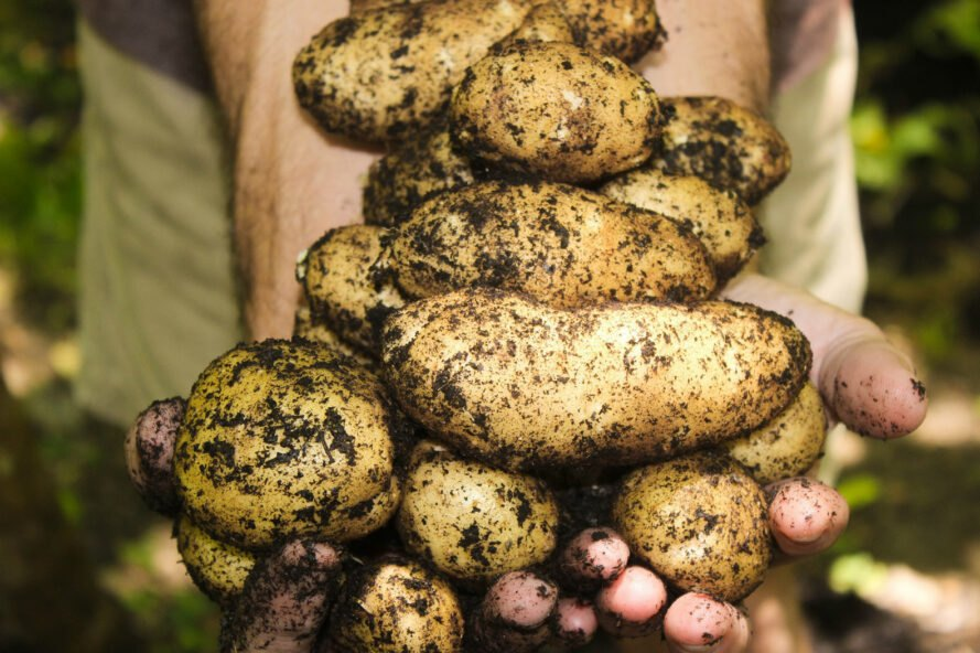 hands holding soil-covered potatoes
