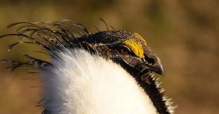 Crucial animal protection laws for the sage grouse being eliminated by the White House