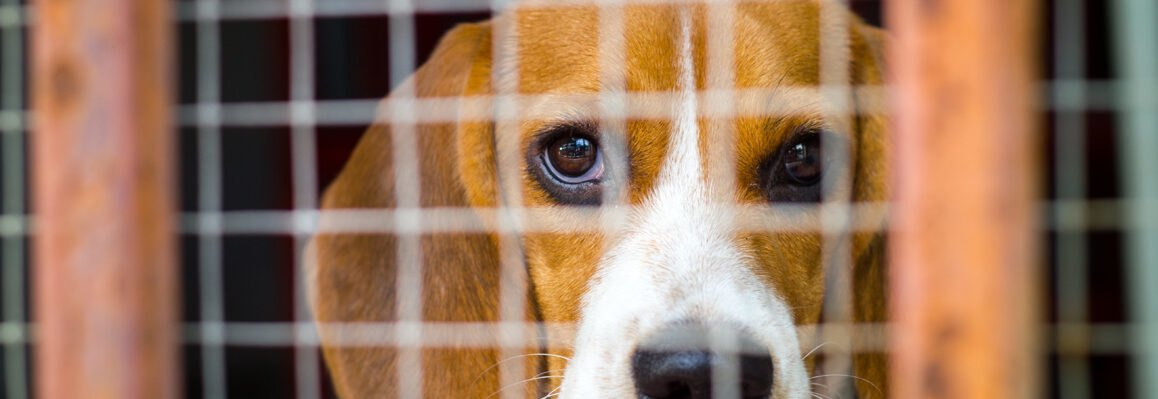 beagle behind a cage
