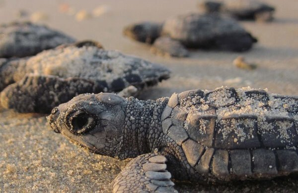 baby sea turtles waddle to ocean