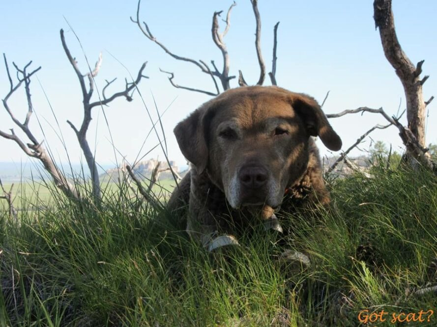 brown dog lying in grass