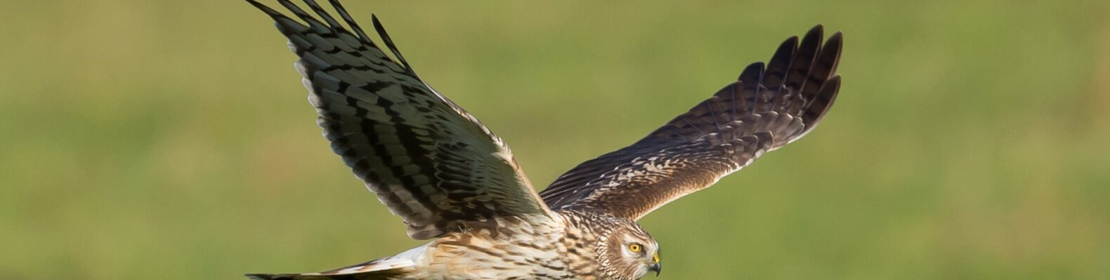 hen harrier flying above grassy field